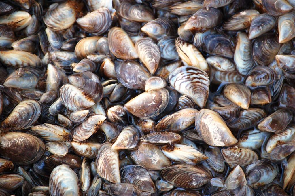 alt=a large pile of zebra mussels