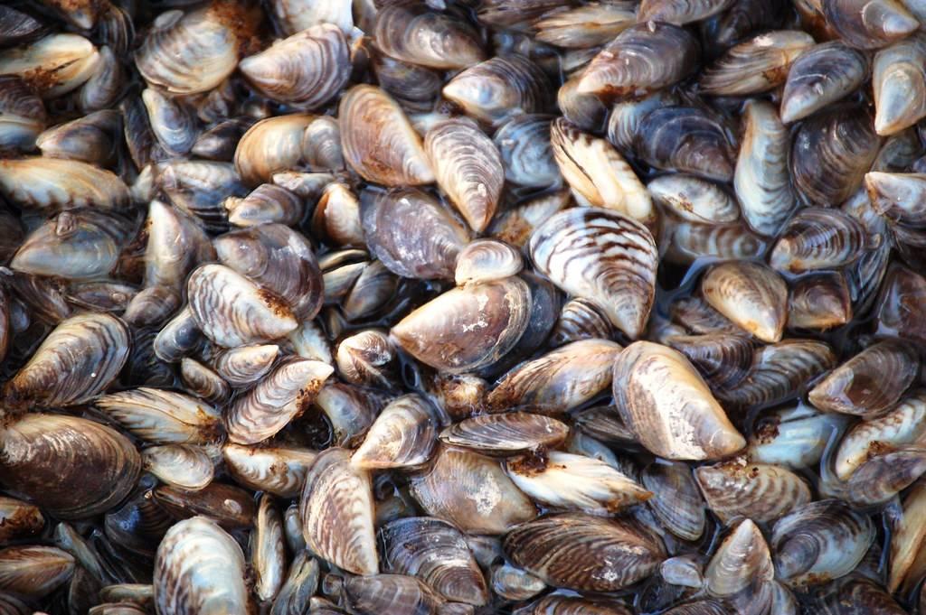 alt=a large pile of zebra mussels